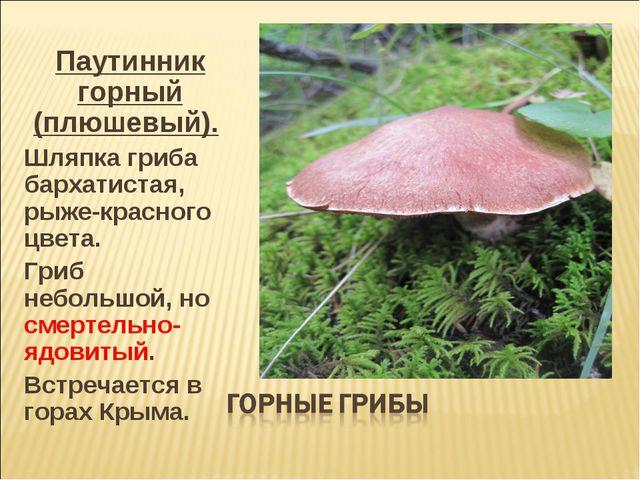 Паутинник горный (плюшевый). Шляпка гриба бархатистая, рыже-красного цвета. Г...