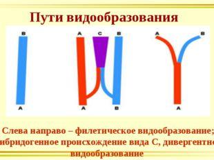 Пути видообразования Слева направо – филетическое видообразование; гибридоген