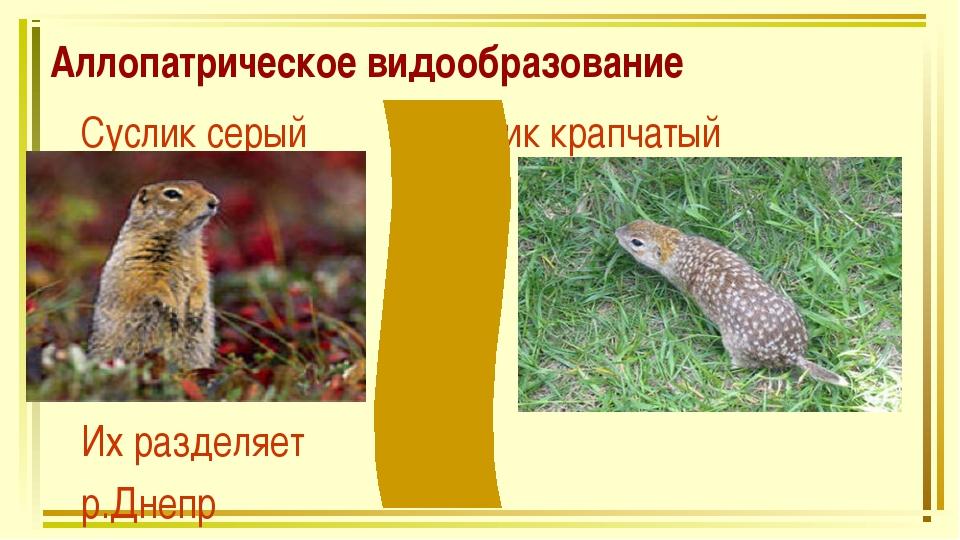 Аллопатрическое видообразование Суслик серый Суслик крапчатый Их разделяет р....