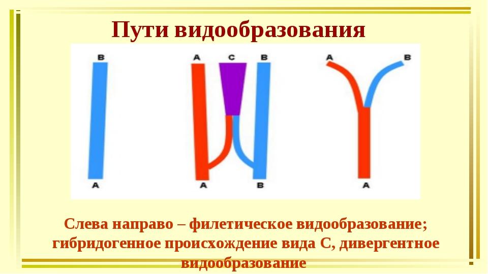 Пути видообразования Слева направо – филетическое видообразование; гибридоген...