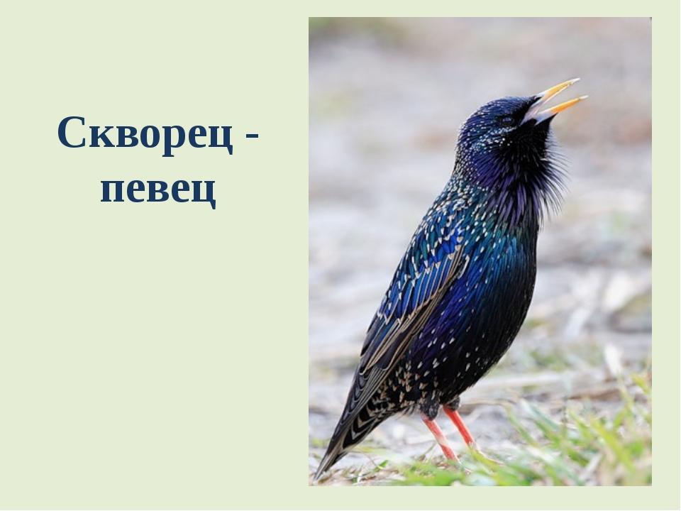 Скворец - певец