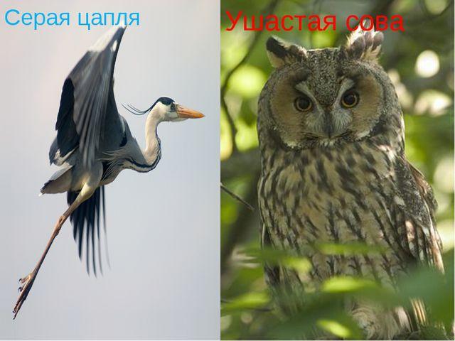 Серая цапля Ушастая сова