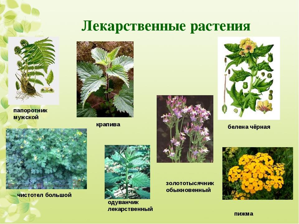 Лекарственные растения папоротник мужской крапива белена чёрная чистотел боль...