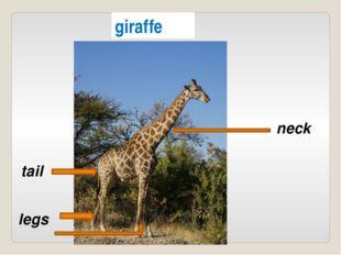 giraffe neck legs tail