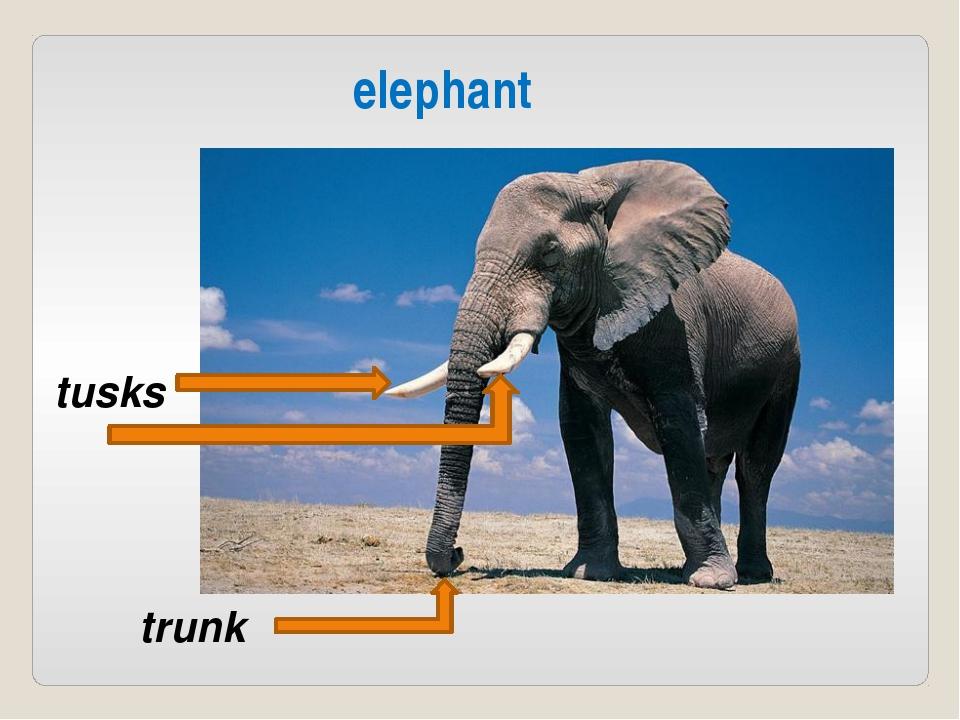 elephant trunk tusks
