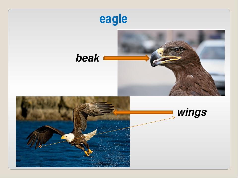 beak wings eagle