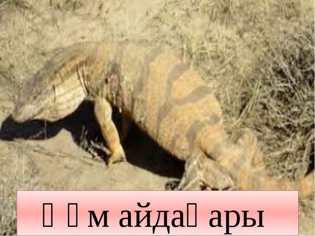 Құм айдаһары