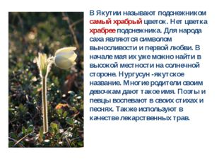 В Якутии называют подснежником самый храбрый цветок. Нет цветка храбрее подсн
