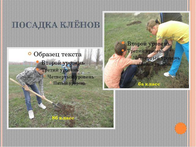 ПОСАДКА КЛЁНОВ 8б класс 6а класс