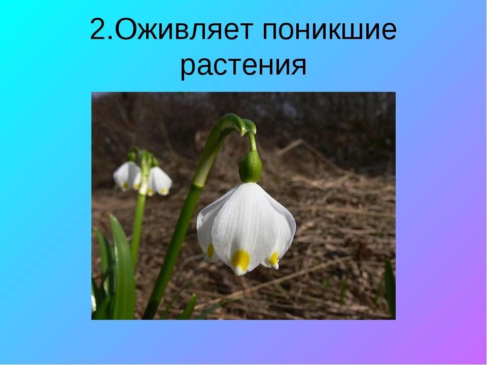 2.Оживляет поникшие растения