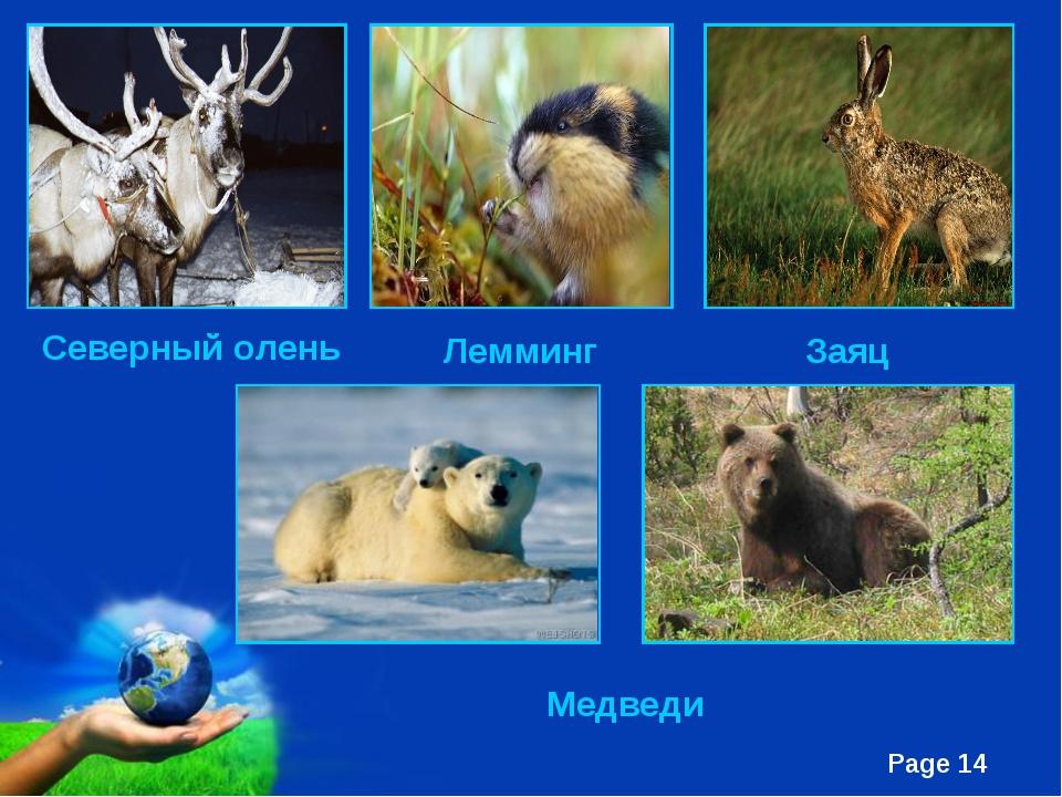 Северный олень Лемминг Заяц Медведи Free Powerpoint Templates Page *