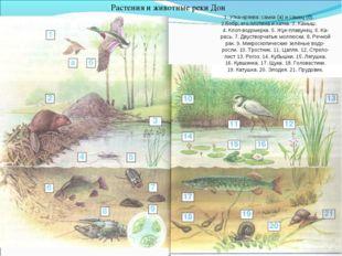Растения и животные реки Дон 1. Утка-кряква: самка (а) и самец (б). 2.Бобр, е