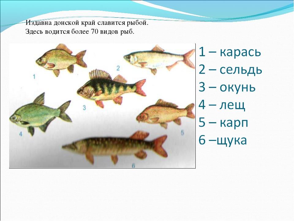 Издавна донской край славится рыбой. Здесь водится более 70 видов рыб.