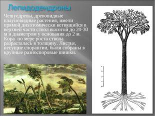 Чешуедревы, древовидные плауновидные растения, имели прямой дихотомически вет
