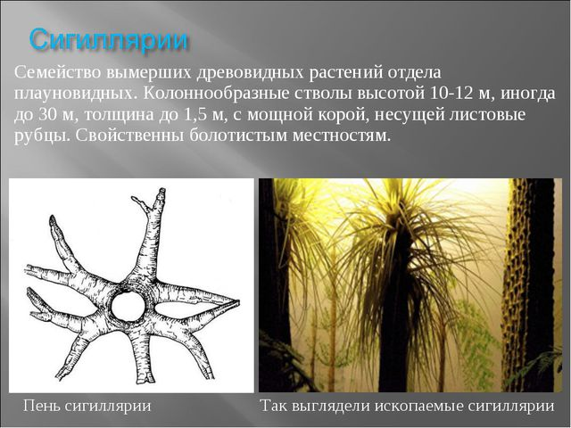 Семейство вымерших древовидных растений отдела плауновидных. Колоннообразные...