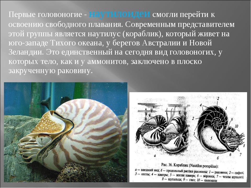 Первые головоногие - наутилоидеи смогли перейти к освоению свободного плавани...