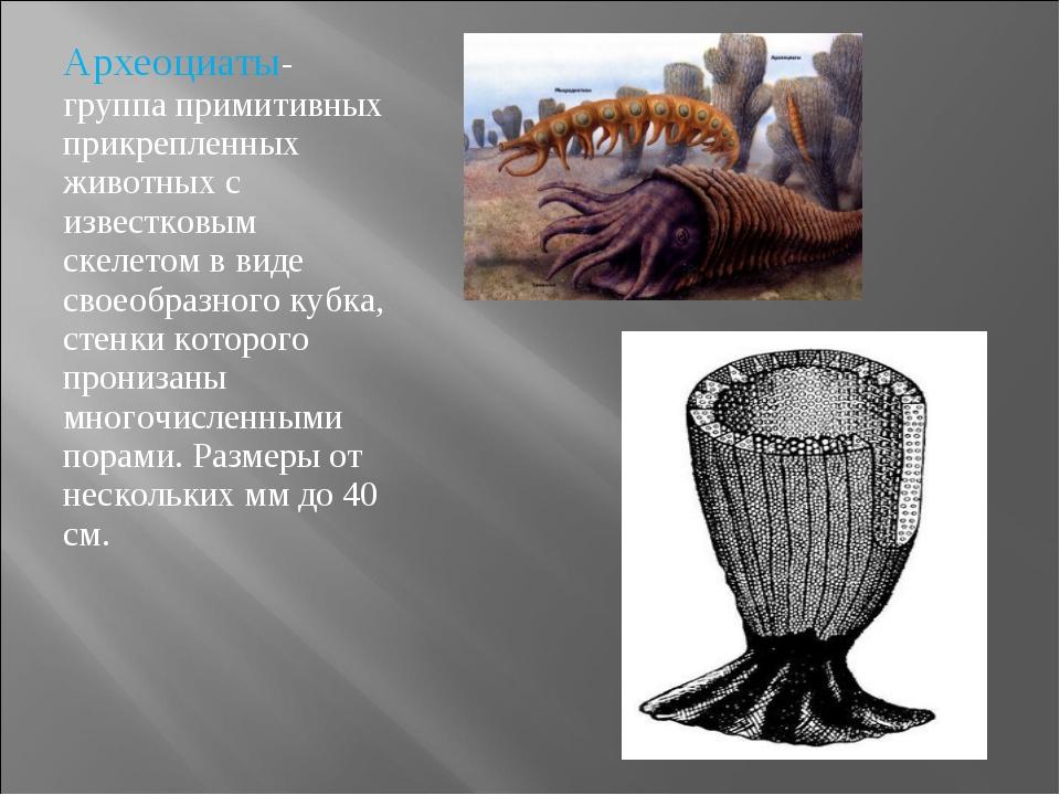 Археоциаты- группа примитивных прикрепленных животных с известковым скелетом...