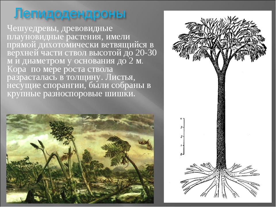 Чешуедревы, древовидные плауновидные растения, имели прямой дихотомически вет...
