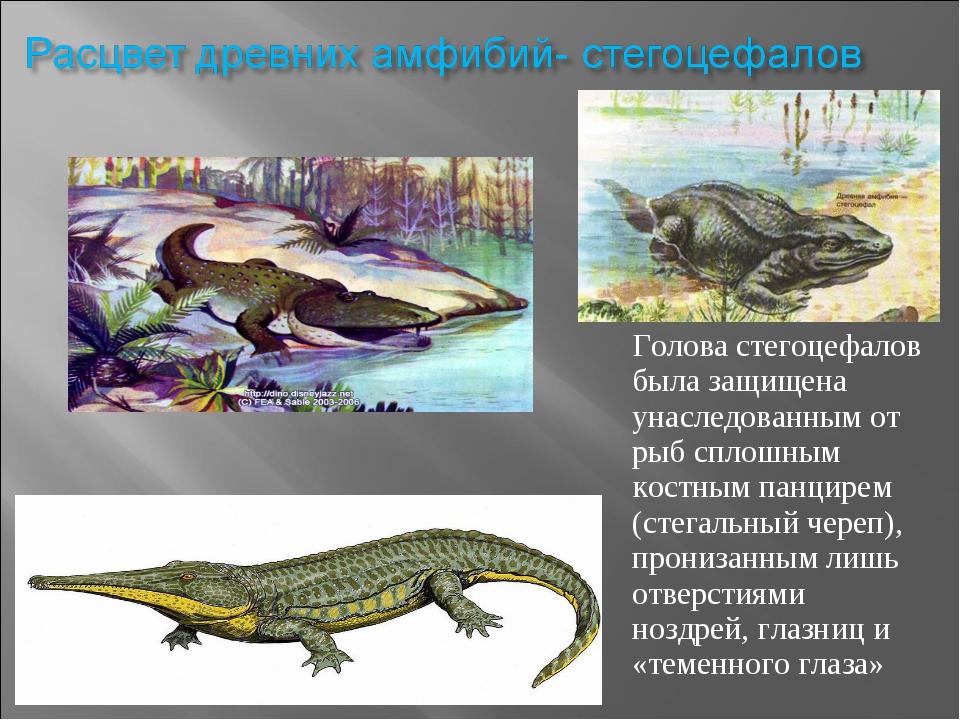 Голова стегоцефалов была защищена унаследованным от рыб сплошным костным панц...