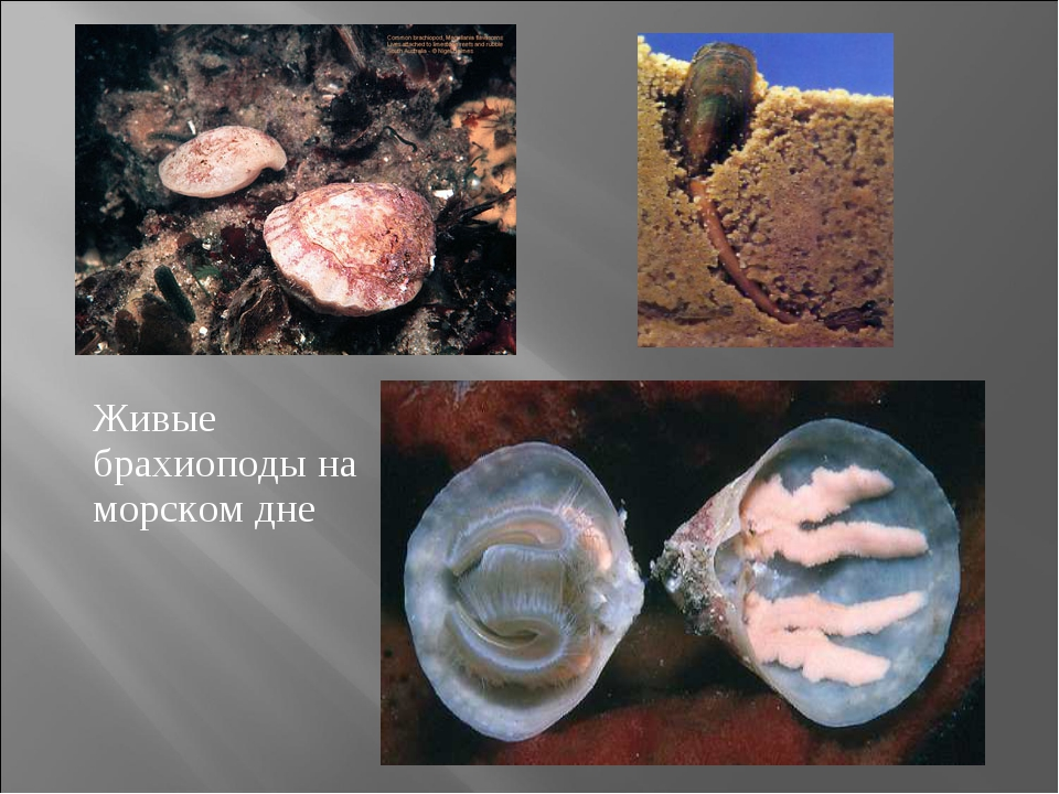 Живые брахиоподы на морском дне