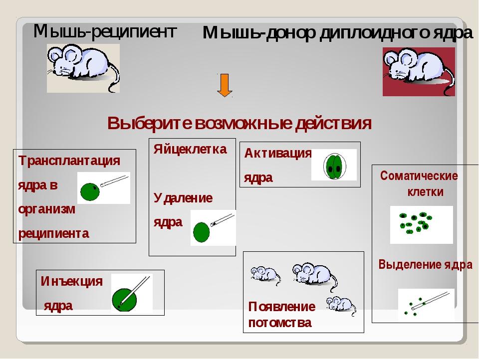 Выберите возможные действия Мышь-реципиент Мышь-донор диплоидного ядра Инъекц...