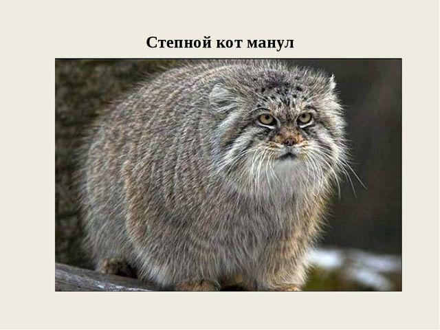 Степной кот манул