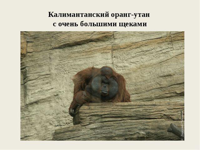 Калимантанский оранг-утан с очень большими щеками