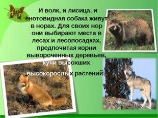 И волк, и лисица, и енотовидная собака живут в норах. Для своих нор они выби