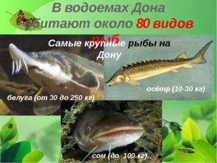 В водоемах Дона обитают около 80 видов рыб. Самые крупные рыбы на Дону белуга