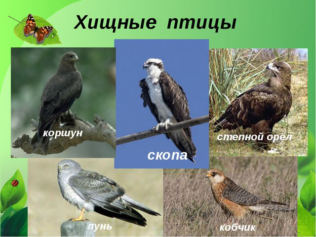 Хищные птицы кобчик коршун степной орёл лунь скопа
