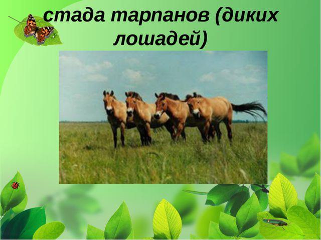 стада тарпанов (диких лошадей)