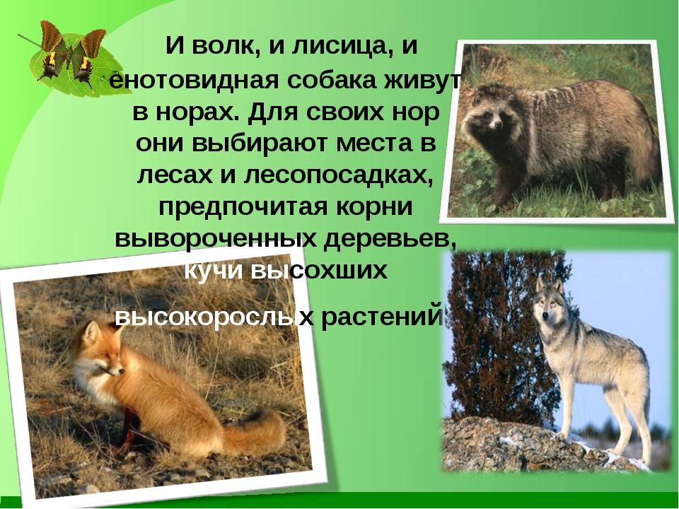 И волк, и лисица, и енотовидная собака живут в норах. Для своих нор они выби...