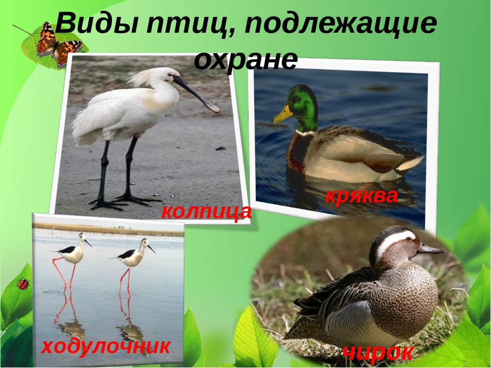 Виды птиц, подлежащие охране кряква чирок ходулочник колпица