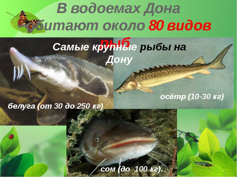 В водоемах Дона обитают около 80 видов рыб. Самые крупные рыбы на Дону белуга...