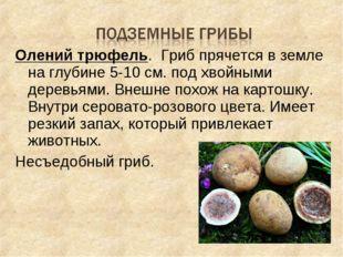 Олений трюфель. Гриб прячется в земле на глубине 5-10 см. под хвойными деревь
