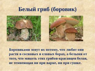 Белый гриб (боровик) Боровиками зовут их потому, что любят они расти в соснов