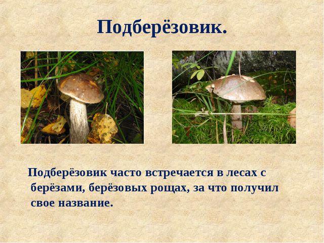 Подберёзовик. Подберёзовик часто встречается в лесах с берёзами, берёзовых ро...
