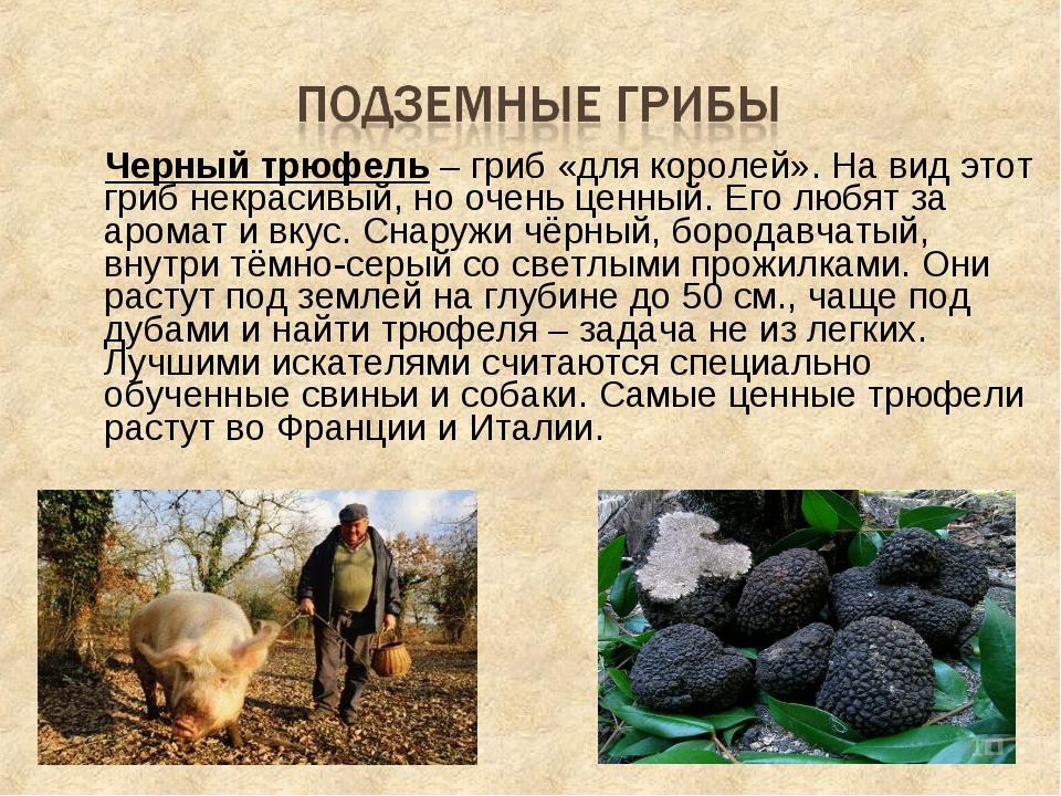 Черный трюфель – гриб «для королей». На вид этот гриб некрасивый, но очень ц...