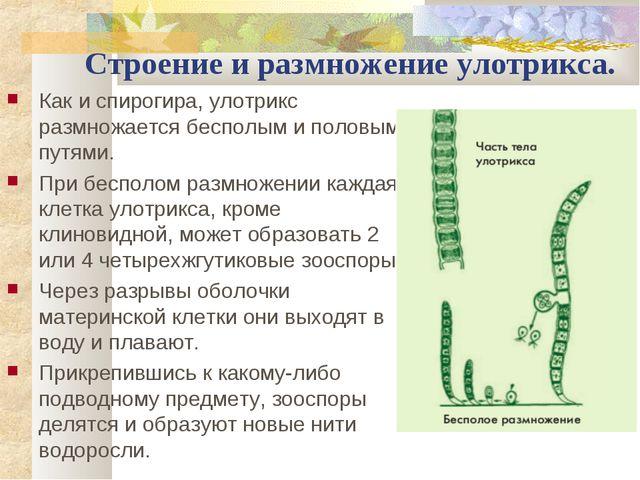 Строение и размножение улотрикса. Как и спирогира, улотрикс размножается бесп...