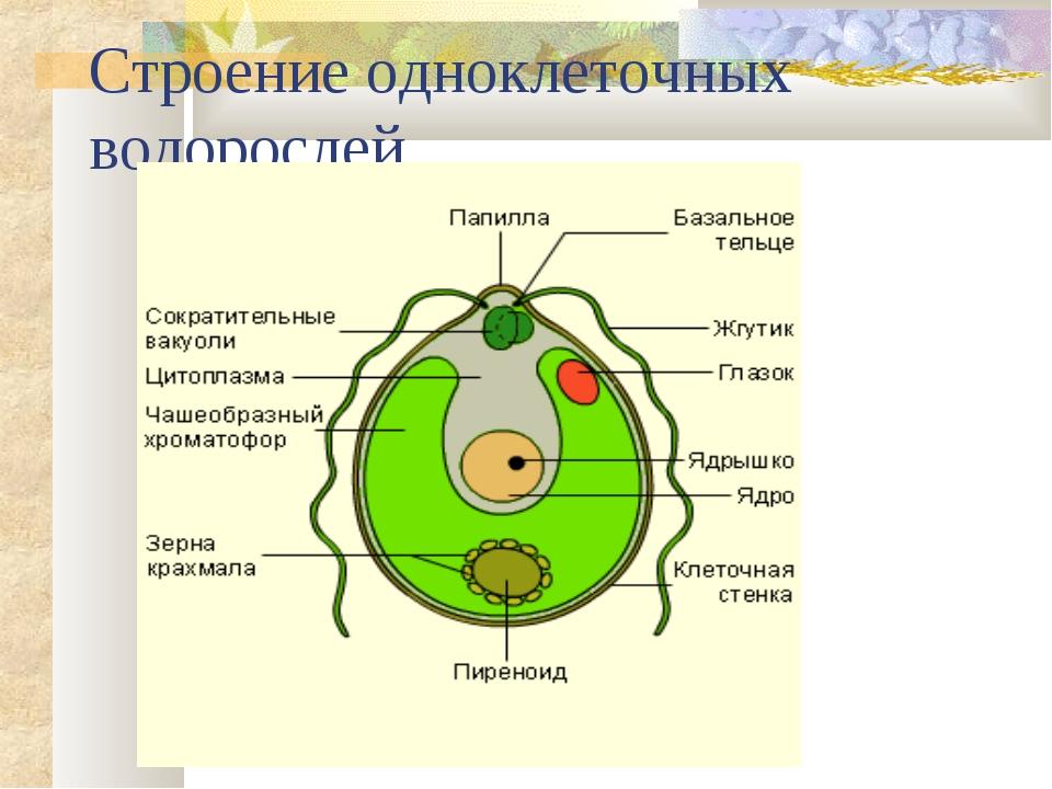 Строение одноклеточных водорослей