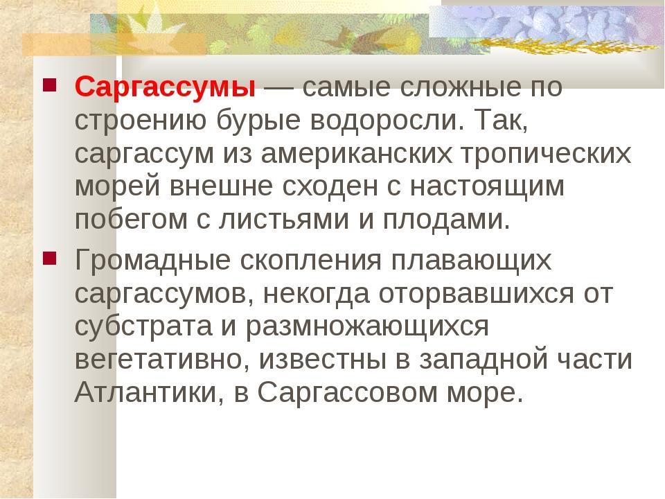 Саргассумы — самые сложные по строению бурые водоросли. Так, саргассум из аме...