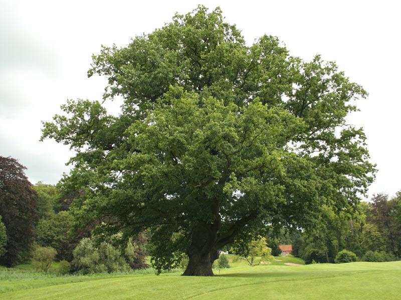 E:\для уроков\кто сажает лес\дуб.jpg