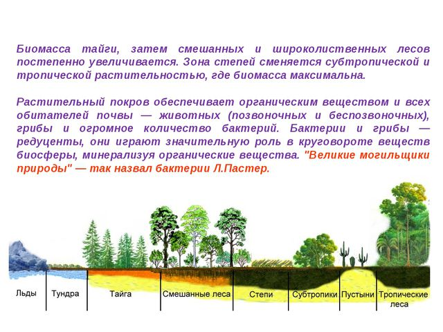 Биомасса тайги, затем смешанных и широколиственных лесов постепенно увеличива...
