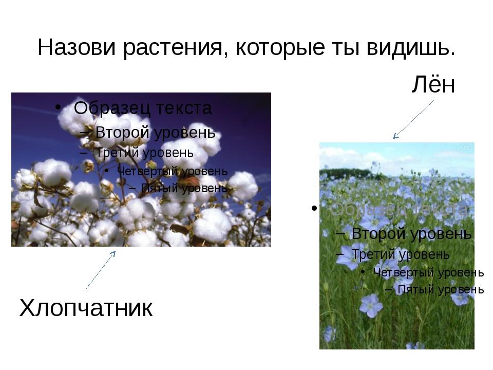 Назови растения, которые ты видишь. Хлопчатник Лён