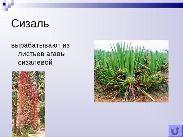 Сизаль вырабатывают из листьев агавы сизалевой