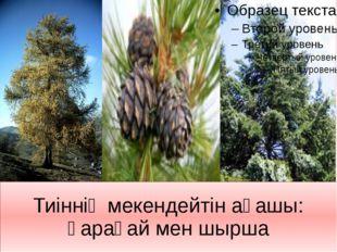 Тиіннің мекендейтін ағашы: қарағай мен шырша