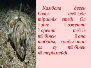 Камбала деген балық теңізде тіршілік етеді. Ол өзіне қажетті қоректі теңіз т