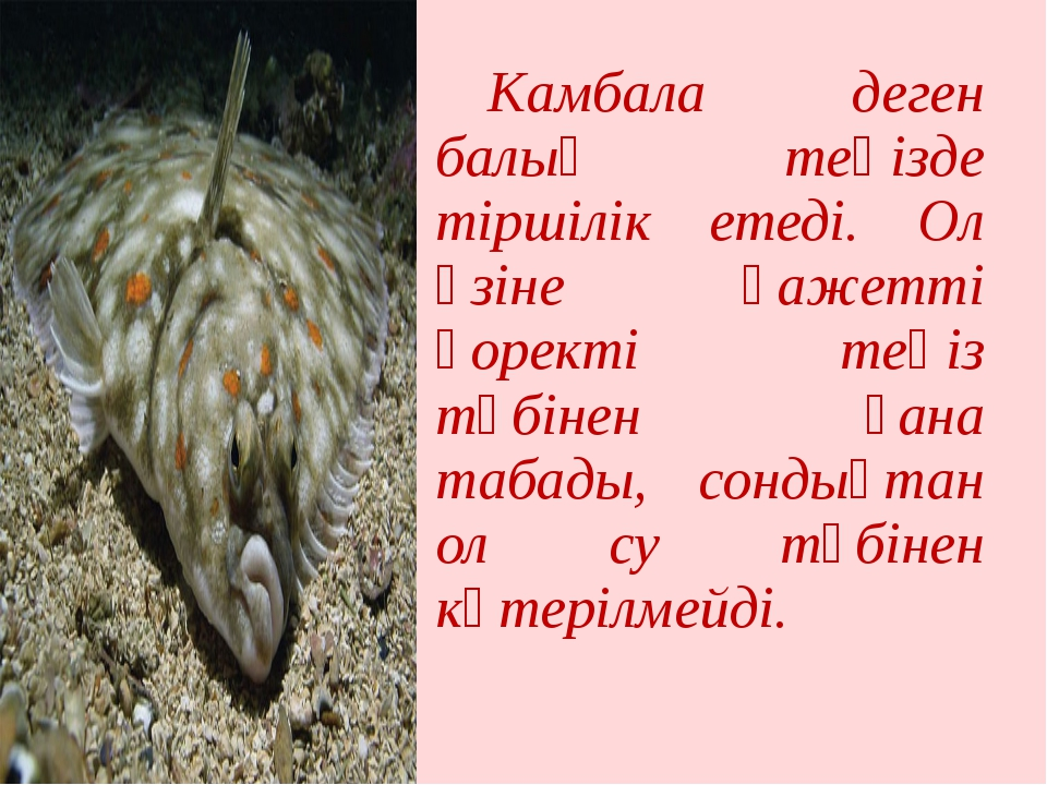Камбала деген балық теңізде тіршілік етеді. Ол өзіне қажетті қоректі теңіз т...