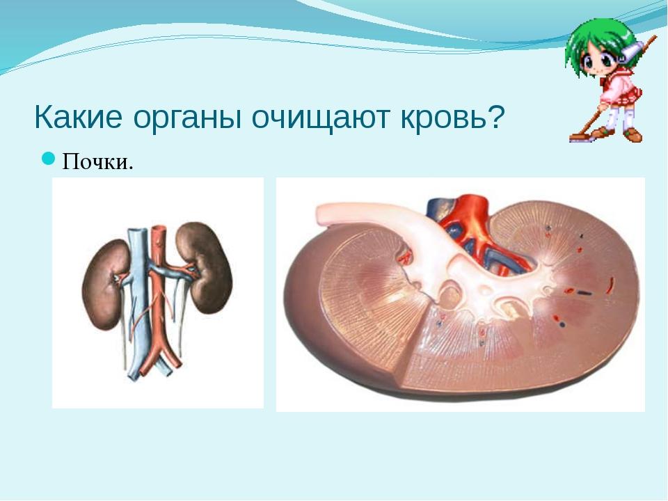 Какие органы очищают кровь? Почки.