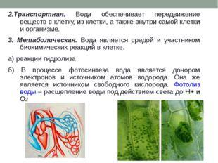 2.Транспортная. Вода обеспечивает передвижение веществ в клетку, из клетки, а